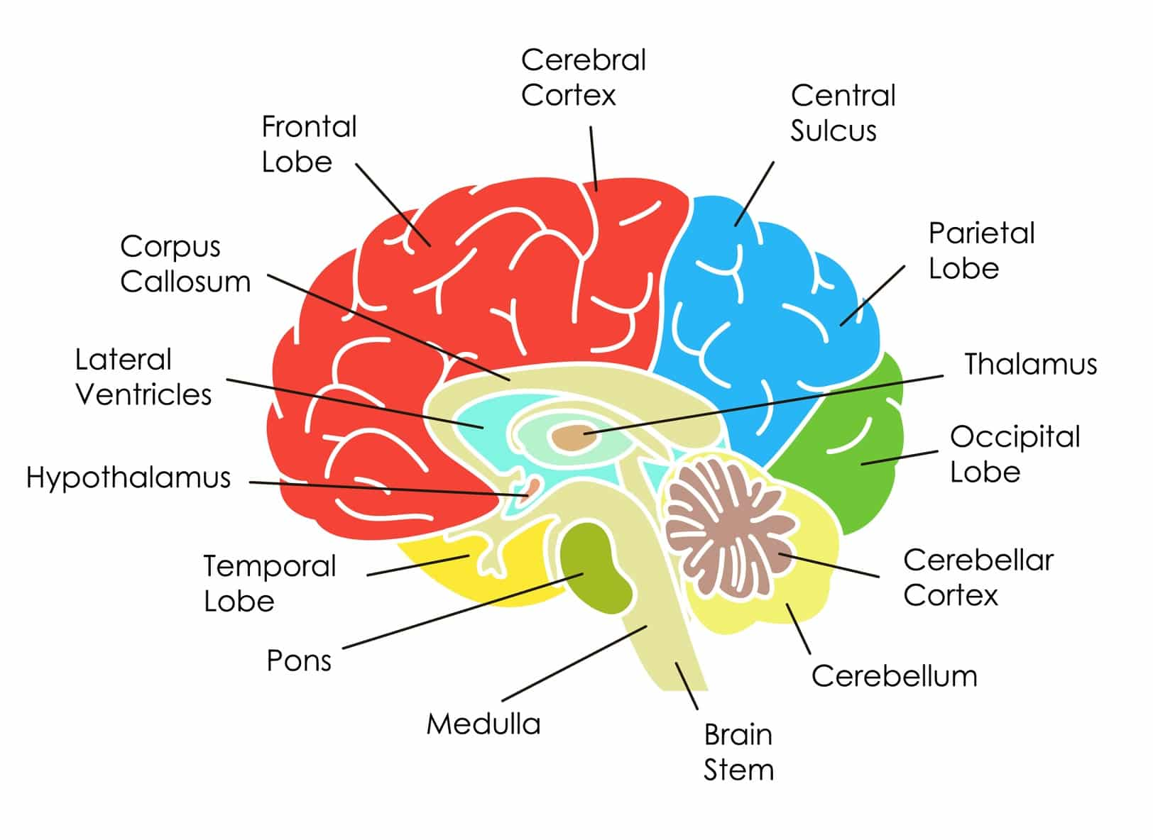 Parts Of The Human Brain And Their Functions - WISURU